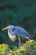 great-blue-heron-picture;great-blue-heron;heron;ardea-herodias;great-blue-heron-breeding-plumage;nesting-great-blue-heron;venice-rookery;venice-audubon-rookery;audubon-sanctuary;southwest-florida;florida-birds;florida-herons;steven-david-miller;natural-wanders