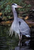great-blue-heron-picture;great-blue-heron;ardea-herodias;heron;florida-birds;florida-herons;heron-standing-in-water;weeki-waachi-springs-state-park;florida-state-park;central-florida;steven-david-miller;natural-wanders