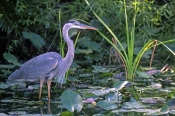 great-blue-heron-picture;great-blue-heron;great-heron;blue-heron;big-heron;large-heron;ardea-herodias;great-blue-heron-wading-in-water;heron-in-water;heron-in-swamp;shark-valley;everglades-national-park;south-florida;florida-herons;florida-birds;birds-of-florida;steven-david-miller