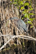 green-heron-picture;green-heron;little-heron;butorides-virescens;immature-green-heron;young-green-heron;royal-palm;everglades-national-park;everglades-birds;florida-national-parks;florida-birds