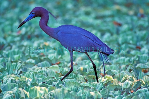 little blue heron picture;little blue heron;little heron;blue heron;egretta caerulea;heron foraging;lettuce lake;swamp;florida swamp;florida herons;corkscrew swamp sanctuary;audubon sanctuary;southwest florida;steven david miller;natural wanders