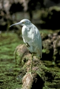 juvenile-little-blue-heron-picture;juvenile-little-blue-heron;little-blue-heron;blue-heron;egretta-caerulea;swamp;florida-swamp;florida-herons;fakahatchee-strand;strand;southwest-florida;steven-david-miller;natural-wanders