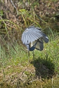 tricolored-heron-picture;tricolored-heron;louisiana-heron;tricolor-heron;egretta-tricolor;tricolored-heron-preening;heron-preening;florida-birds;florida-national-parks;everglades-birds;everglades-national-park