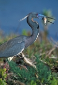 tricolored-heron-picture;tricolored-heron;louisiana-heron;tricolor-heron;egretta-tricolor;tricolored-heron-iwith-fish;florida-heron;florida-bird;ding-darling-national-wildlife-refuge;sanibel-island;national-wildlife-refuges;steven-david-miller;natural-wanders