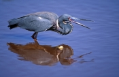 tricolored-heron-picture;tricolored-heron;louisiana-heron;tricolor-heron;egretta-tricolor;tricolored-heron-in-water;heron-in-water;heron;florida-heron;florida-bird;everglades-national-park;florida-national-park;steven-david-miller;natural-wanders;mazarick-pond