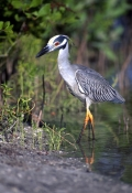 yellow-crowned-night-heron-picture;yellow-crowned-night-heron;yellow-crowned-night-heron;nyctanassa-