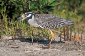 yellow-crowned-night-heron-picture;yellow-crowned-night-heron;yellow-crowned-night-heron;nyctanassa-violacea;night-heron;heron;bird-with-red-eyes;night-heron-wading-in-water;florida-herons;ding-darling-national-wildlife-refuge;sanibel-island;southwest-florida;florida-mangrove-wetland;steven-david-miller;natural-wanders;national-wildlife-refuges
