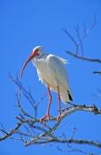 white-ibis-picture;white-ibis;eudocimus-albus;white-ibis-standing;ibis;florida-birds;lovers-key-state-park;florida-state-parks;southwest-florida;steven-david-miller;natural-wanders