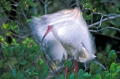 white-ibis-picture;white-ibis;ibis;white-ibis-breeding-colors;white-ibis-breeding-colours;mangrove-bird;bird-in-mangroves;ding-darling-national-wildlife-refuge;sanibel-island;southwest-florida;steven-david-miller;natural-wanders