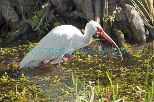 white ibis picture;white ibis;ibis;white ibis wading;white ibis fishing;white ibis in water;white ibis swimming;florida birds;florida national parks;everglades birds;everglades national park;royal palm