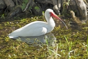 white-ibis-picture;white-ibis;ibis;white-ibis-wading;white-ibis-fishing;white-ibis-in-water;white-ibis-swimming;florida-birds;florida-national-parks;everglades-birds;everglades-national-park;royal-palm