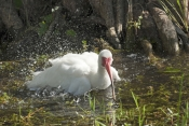 white-ibis-picture;white-ibis;ibis;white-ibis-preening;white-ibis-bathing;white-ibis-in-water;white-ibis-wading;white-ibis-in-water;florida-birds;florida-national-parks;everglades-birds;everglades-national-park;royal-palm