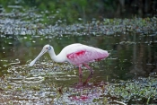 roseate-spoonbill-picture;roseate-spoonbill;spoonbill;florida-spoonbill;ajaia-ajaja;pink-bird;pink-spoonbill;florida-birds;birds-of-florida;bird-standing-in-water;spoonbill-standing-in-water;everglades-national-park;everglades-birds
