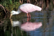 roseate-spoonbill-picture;roseate-spoonbill;spoonbill;florida-spoonbill;ajaia-ajaja;pink-bird;pink-spoonbill;florida-birds;birds-of-florida;bird-standing-in-water;spoonbill-standing-in-water;ding-darling-national-wildlife-refuge;sanibel-island;southwest-florida;beautiful-bird