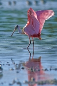 roseate-spoonbill-picture;roseate-spoonbill;spoonbill;florida-spoonbill;ajaia-ajaja;pink-bird;pink-spoonbill;florida-birds;birds-of-florida;bird-standing-in-water;spoonbill-standing-in-water;ding-darling-national-wildlife-refuge;sanibel-island;southwest-florida;beautiful-bird;roseate-spoonbil-wings;bird-with-wings-stretched-out