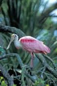 roseate-spoonbill-picture;roseate-spoonbill;spoonbill;florida-spoonbill;ajaia-ajaja;pink-bird;pink-spoonbill;florida-birds;birds-of-florida;roseate-spoonbill-preening;bird-preening;spoonbill-preening;st-augustine-alligator-farm;st-augustine-bird-rookery;beautiful-bird