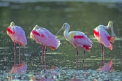 roseate-spoonbill-picture;roseate-spoonbill;spoonbill;florida-spoonbill;ajaia-ajaja;pink-bird;pink-spoonbill;florida-birds;birds-of-florida;birds-standing-in-water;spoonbill-standing-in-water;ding-darling-national-wildlife-refuge;sanibel-island;southwest-florida;beautiful-bird;steven-david-miller