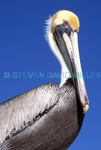 BIRDS;PELICANS;PORTRAITS;SEABIRDS;USA;VERTEBRATES;VERTICAL;brown pelican;pelecanus occidentalis