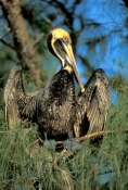 brown-pelican;brown-pelican-picture;pelican;pelican-courtship-plumage;american-pelican;pelican-in-tree;pelican-with-wings-open;mangrove-habitat;southwest-florida