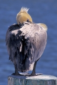 brown-pelican;brown-pelican-picture;pelican;pelican-courtship-plumage;american-pelican;pelican-sleeping;pelican-on-pylon;southwest-florida