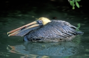 brown-pelican;brown-pelican-picture;pelican;pelican-courtship-plumage;american-pelican;pelican-swimming;pelican-with-fish;mangrove-habitat;southwest-florida