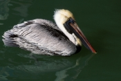 BIRDS;HORIZONTAL;PELECANUS-OCCIDENTALIS;PELICANS;SEABIRDS;USA;VERTEBRATES;WATER;WINTER