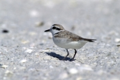 snowy-plover-picture;snowy-plover;plover;male-snowy-plover;snowy-plover-winter-plumage;charadrius-alexandrinus;migratory-bird-in-florida;migratroy-bird;bird-resting-on-beach;bird-on-sand-cay;marco-island;gulf-barrier-island;bird-on-barrier-island;southwest-florida;steven-david-miller