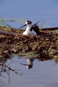 BIRDS;HIMANTOPUS-MEXICANUS;NESTS;STILTS;USA;VERTEBRATES;VERTICAL;WADERS;WETLANDS