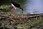 BIRDS;HIMANTOPUS-MEXICANUS;NESTS;STILTS;USA;VERTEBRATES;WADERS
