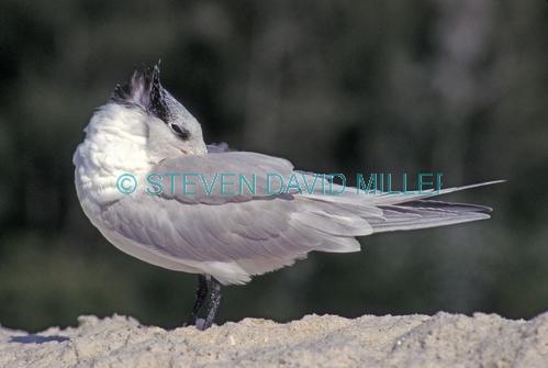 royal tern picture;royal tern;tern;sterna maxia;naples beach;southwest florida beach;gulf of mexico shoreline. terns found in america;terns found in usa;tern sleeping;bird sleeping