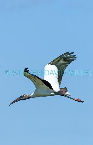 wood stork picture;wood stork;stork;american stork;florida stork;mycteria americana;wood stork flying;everglades national park;south florida;endangered species;indicator species;steven david miller