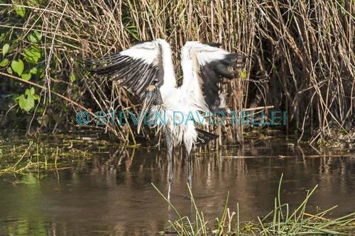 wood stork picture;wood stork;stork;american stork;florida stork;mycteria americana;wood stork bathing;stork wading;stork in water;wood stork wings;everglades national park;south florida;endangered species;indicator species;steven david miller