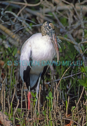 wood stork picture;wood stork;stork;american stork;florida stork;mycteria americana;wood stork standing;mangrove forest;mangrove roots;ding darling national wildlife refuge;sanibel island;southwest florida;endangered species;indicator species;steven david miller