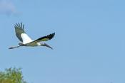 wood-stork-picture;wood-stork;stork;american-stork;florida-stork;mycteria-americana;wood-stork-flyin