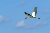 wood-stork-picture;wood-stork;stork;american-stork;florida-stork;mycteria-americana;wood-stork-flying;everglades-national-park;south-florida;endangered-species;indicator-species;steven-david-miller