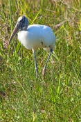 wood-stork-picture;wood-stork;stork;american-stork;florida-stork;mycteria-americana;wood-stork-standing;everglades-national-park;south-florida;endangered-species;indicator-species;steven-david-miller