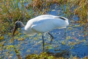 wood-stork-picture;wood-stork;stork;american-stork;florida-stork;mycteria-americana;wood-stork-foraging;stork-wading;stork-in-water;everglades-national-park;south-florida;endangered-species;indicator-species;steven-david-miller