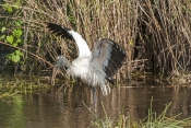wood-stork-picture;wood-stork;stork;american-stork;florida-stork;mycteria-americana;wood-stork-bathing;stork-wading;stork-in-water;wood-stork-wings;everglades-national-park;south-florida;endangered-species;indicator-species;steven-david-miller