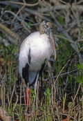 wood-stork-picture;wood-stork;stork;american-stork;florida-stork;mycteria-americana;wood-stork-standing;mangrove-forest;mangrove-roots;ding-darling-national-wildlife-refuge;sanibel-island;southwest-florida;endangered-species;indicator-species;steven-david-miller