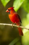 redbird;red-bird;common-cardinal;cardinal;passeriformes