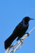 boat-tailed-grackle-picture;boat-tailed-grackle;boat-tailed-grackle;grackle;american-grackle;black-bird;blue-black-bird;everglades-national-park;south-florida;florida-birds