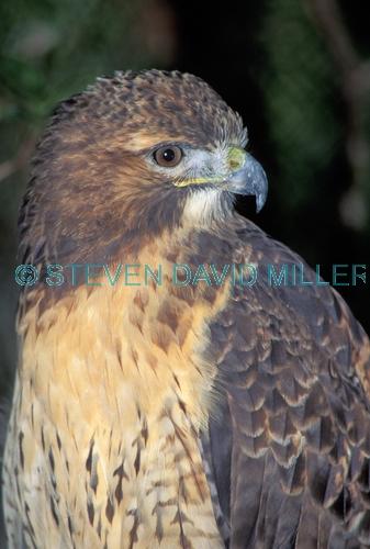 red-tailed hawk;hawk;buteo jamaicensis;hawk portrait;hawk close-up picture;hawk head shot;wild bird center;florida keys;florida hawk;north american hawk;steven david miller