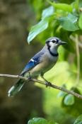 passerine;jay-bird;florida-blue-jay