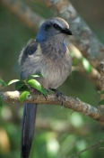 scrub-jay;florida-scrub-jay;jay;aphelocoma-coerulescens;florida-bird;endangered-bird;endangered-florida-bird;endangered-species;banded-bird;bird-in-tree;bird-on-branch;blue-bird;north-american-bird;naples;florida;steven-david-miller