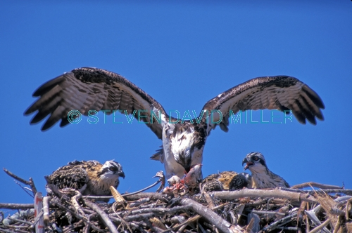 osprey;osprey with fish in talons;pandion haliaetus;sea bird;osprey feeding chicks;bird feeding chicks;oprey on nest;chicks in nest;florida osprey;everglades national park;steven david miller