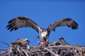 osprey;osprey-with-fish-in-talons;pandion-haliaetus;sea-bird;osprey-feeding-chicks;bird-feeding-chicks;oprey-on-nest;chicks-in-nest;florida-osprey;everglades-national-park;steven-david-miller