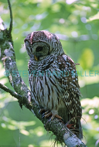 barred owl picture;barred owl;florida owl;strix varia;corkscrew swamp sanctuary;cypress swamp;swamp birds;southwest florida;florida swamp;florida bird;birds of florida;owls of florida;owl portrait;owl standing;owl with green background;owl;amercian owl
