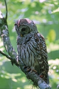 barred-owl-picture;barred-owl;florida-owl;strix-varia;corkscrew-swamp-sanctuary;cypress-swamp;swamp-birds;southwest-florida;florida-swamp;florida-bird;birds-of-florida;owls-of-florida;owl-portrait;owl-standing;owl-with-green-background;owl;amercian-owl