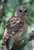 barred-owl-picture;barred-owl;florida-owl;strix-varia;corkscrew-swamp-sanctuary;cypress-swamp;swamp-birds;southwest-florida;florida-swamp;florida-bird;birds-of-florida;owl;amercian-owl;eye-contact