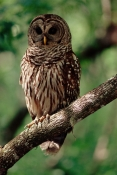 BIRDS;BIRDS-OF-PREY;OWLS;STRIX-VARIA;USA;VERTEBRATES;VERTICAL;corkscrew-swamp-sanctuary